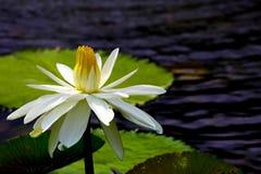 Lírio de água branca híbrido bonito na lagoa cercada por almofadas verdes imagem de stock royalty free
