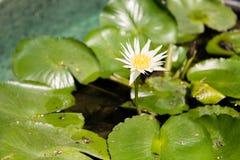 Lírio de água branca na lagoa Fotos de Stock Royalty Free