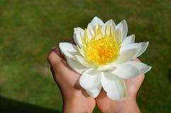 Lírio de água branca nas mãos Fotografia de Stock Royalty Free
