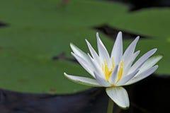 Lírio de água branca no parque estadual da conserva da costa de Fakahatchee, Florida foto de stock