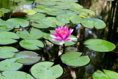 Lírio de água brilhante no jardim botânico na Abkhásia fotografia de stock
