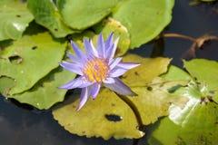 Lírio de água com a folha dos lótus na lagoa Imagens de Stock Royalty Free
