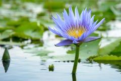 Lírio de água com a folha dos lótus na lagoa Fotografia de Stock