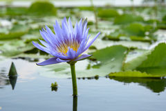 Lírio de água com a folha dos lótus na lagoa Foto de Stock