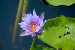 Lírio de água com a folha dos lótus na lagoa Fotografia de Stock Royalty Free
