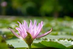Lírio de água com a folha dos lótus na lagoa Imagens de Stock