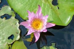 Lírio de água com a folha dos lótus na lagoa Imagem de Stock Royalty Free