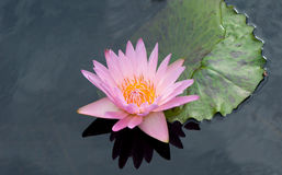 Lírio de água cor-de-rosa imagens de stock
