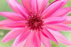 Lírio de água cor-de-rosa Fotografia de Stock Royalty Free