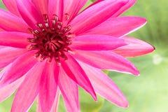 Lírio de água cor-de-rosa imagem de stock royalty free