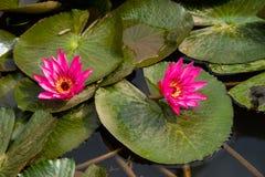 Lírio de água cor-de-rosa Foto de Stock