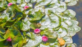 Lírio de água cor-de-rosa fotos de stock royalty free