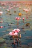 Lírio de água cor-de-rosa bonito no lago em Tailândia Imagens de Stock Royalty Free