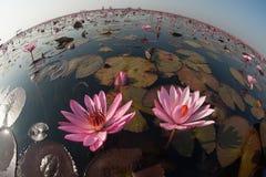 Lírio de água cor-de-rosa bonito no lago em Tailândia Imagens de Stock