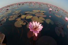 Lírio de água cor-de-rosa bonito no lago em Tailândia Imagem de Stock Royalty Free