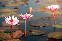 Lírio de água cor-de-rosa bonito no lago em Tailândia Fotos de Stock