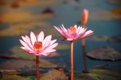 Lírio de água cor-de-rosa bonito no lago em Tailândia Imagem de Stock