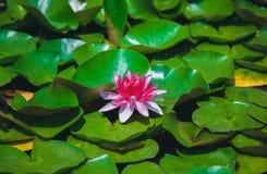 Lírio de água cor-de-rosa em uma lagoa quieta imagens de stock