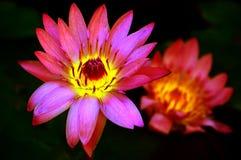 Lírio de água cor-de-rosa exótico Fotografia de Stock