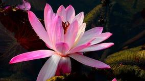 Lírio de água cor-de-rosa exótico video estoque