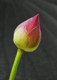 Lírio de água cor-de-rosa: lótus Fotografia de Stock Royalty Free