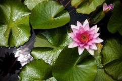 Lírio de água cor-de-rosa, Lotus cor-de-rosa Foto de Stock
