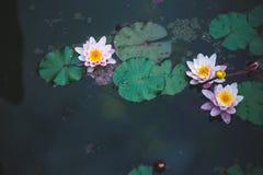 Lírio de água cor-de-rosa em uma água escura do fundo da lagoa, fundo preto, copypace imagens de stock royalty free