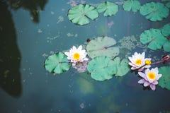 Lírio de água cor-de-rosa em uma água escura do fundo da lagoa, fundo preto, copypace foto de stock