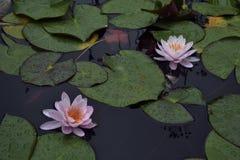 Lírio de água cor-de-rosa em uma lagoa fotografia de stock