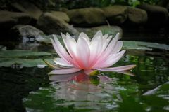 Lírio de água cor-de-rosa Marliacea Rosea ou flor de lótus no fundo das folhas verdes e das pedras velhas, água preta da lagoa fotografia de stock royalty free