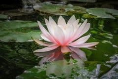 Lírio de água cor-de-rosa Marliacea Rosea ou flor de lótus no fundo das folhas verdes e das pedras velhas, água preta da lagoa fotografia de stock