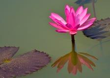 Lírio de água cor-de-rosa ou vermelha, rubra do Nymphaea em um lago rural natural este tipo da flor igualmente chamou o shaluk  foto de stock royalty free