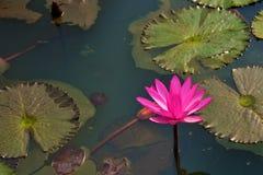 Lírio de água cor-de-rosa ou vermelha, rubra do Nymphaea em um lago rural natural este tipo da flor igualmente chamou o shaluk  foto de stock