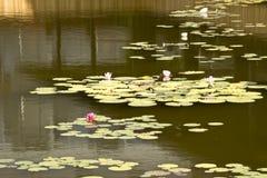 Lírio de água da flor fotografia de stock
