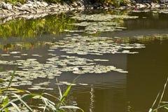 Lírio de água da flor Imagens de Stock