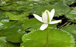 Lírio de água da flor em uma lagoa, Fotos de Stock Royalty Free