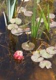 Lírio de água de florescência em uma lagoa Fotos de Stock