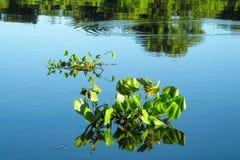 Lírio de água dos crassipes do Eichhornia Fotografia de Stock Royalty Free