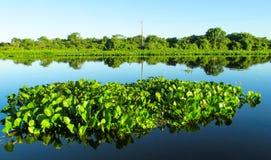 Lírio de água dos crassipes do Eichhornia Foto de Stock