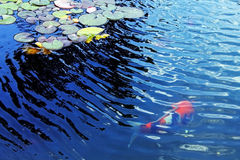 Lírio de água e Koi Imagem de Stock Royalty Free
