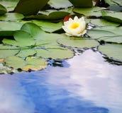 Lírio de água em uma lagoa Foto de Stock Royalty Free