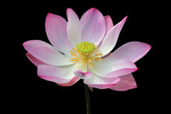 Lírio de água, flor de lótus de florescência no isolado da lagoa no fundo preto Imagem de Stock