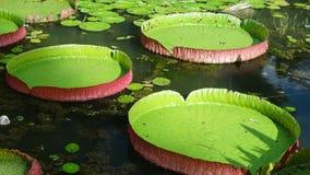 Lírio de água gigante Foto de Stock Royalty Free