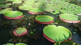 Lírio de água gigante Fotos de Stock Royalty Free