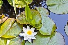 Lírio de água japonês dos lótus brancos Foto de Stock Royalty Free