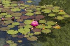 Lírio de água/lótus cor-de-rosa Imagens de Stock