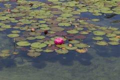 Lírio de água/lótus cor-de-rosa Imagens de Stock Royalty Free