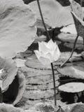 Lírio de água/lótus no ambiente natural em preto e branco Foto de Stock