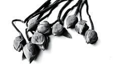 Lírio de água murcho, flores de lótus no backgrou preto e branco Fotografia de Stock Royalty Free