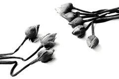 Lírio de água murcho, flores de lótus no backgrou preto e branco Fotografia de Stock